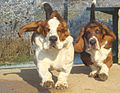 Basset-hound duo.jpg