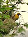 Baya Weaver, Western Ghats.jpg