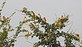 Baya Weaver Ploceus philippinus by Dr. Raju Kasambe DSCN0233 (12).jpg