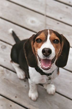 English: A very happy Beagle Puppy!!!!! ; Othe...