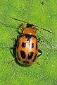 Bean Leaf Beetle - Cerotoma trifurcata, Meadowood Farm SRMA, Mason Neck, Virginia.jpg