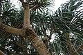 Beaucarnea recurvata 23zz.jpg