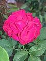 Beautiful Rose flower.jpg