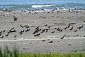 Beccacce di Mare (Haematopus ostralegus) sull'Isola dei Gabbiani. - panoramio.jpg