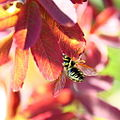 Bee and fall foilage 2 (2853261515).jpg