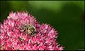 Bee on pink (6622465239).jpg