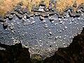 Beech with Cobalt Crust, Pulcherricium caeruleum.JPG