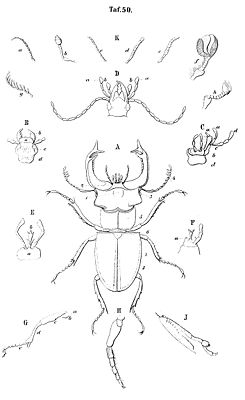 Zeichnung eines Hirschkäfers (Mitte) und verschiedener Körperteile anderer Käferarten. Aus C. G. Calwer's Käferbuch. 3. Auflage. Thienemanns, Stuttgart 1876.