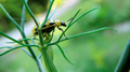 Beetle on cilantro plant, closer (6084509130).png