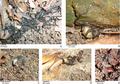 Behavior and feeding of Endeavouria septemlineata.png