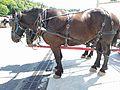 Belgium Horses in Mackinac Island.jpg