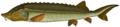 14 / Beluga (sturgeon)