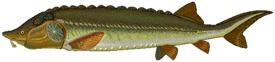 Beluga sturgeon.png