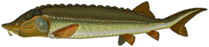Beluga (sturgeon) - Image: Beluga sturgeon