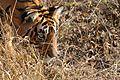 Bengal Tiger13.jpg