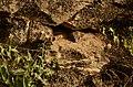 Bengal monitor (Varanus bengalensis) from Anaimalai hills JEG3624.JPG