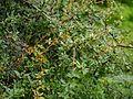 Berberis chitria Buch.-Ham. ex Lindl. (7763800648).jpg