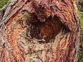 Bergtocht van Peio Paese naar Lago Covel in het Nationaal park Stelvio (Italië). Wond van een afgebroken tak. Europese larix (Larix decidua) 01.jpg