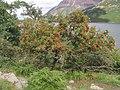 Berries, berries everywhere - geograph.org.uk - 239612.jpg