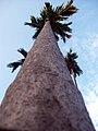 Betel Nut Tree.jpg
