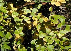 Betula-pubescens-autumn.JPG