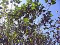 Betula nigra Heritage 1zz.jpg