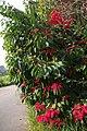 Bico-de-papagaio de jardineira à beira da Av. Andrade Navarro, Parque Centenário. - panoramio.jpg