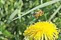 Biene beim Honigsammeln.jpg