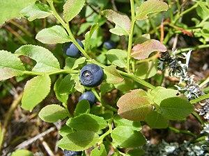 vanliga växter i sverige