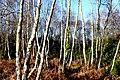 Birch Woodland near Crossways - geograph.org.uk - 1095214.jpg