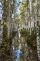 Birch trees growing around Seda peat bog trench.jpg