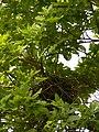 Bird Nest - Howrah 2011-03-19 1868.JPG