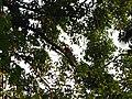 Bird White-throated Brown Hornbill Anorrhinus austeni IMG 9075 02.jpg