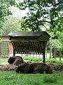 Bison bonasus in Howletts Wild Animal Park 3.jpg