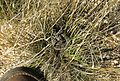 Bitis atropos, Berg Adder in the Cedarberg In tussock of grass..jpg