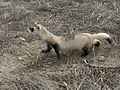 Black-footed Ferret Full Body (5219325801).jpg