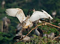 Black-headed Ibis (Threskiornis melanocephalus)- juvenile extracting food from adult W IMG 2667.jpg