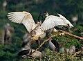 Black-headed Ibis (Threskiornis melanocephalus)- juvenile extracting food from adult W IMG 2667.jpg
