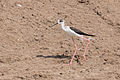 Black-winged Stilt - Queen Elizabeth National Park, Uganda.jpg