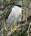 Black Crowned Night Heron (4341799465).jpg