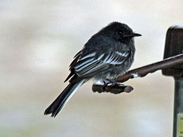 Black Phoebe white-winged RWD7.jpg