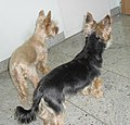 Black and Tan Yorkie and Golddust Yorkie.jpg