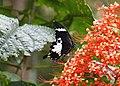 Black and White Helen (Papilio nephelus sunatus)? (23999224534).jpg