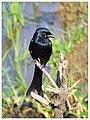 Black drongo (Dicrurus macrocercus) (16019616962).jpg