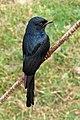 Black drongo (Dicrurus macrocercus) (23708361163).jpg