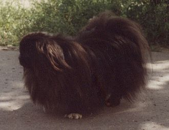 Pekingese - Dark coated Pekingese