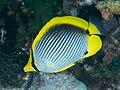 Blackback butterflyfish (Chaetodon melannotus) (47285642272).jpg