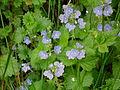 Blaue Frühjahrsblüher Waldstück Erlenbach.JPG