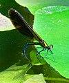 Blauflügel Prachtlibelle bei der Eiablage. 02.jpg