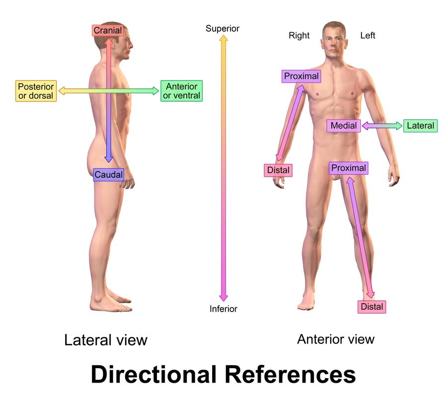 Anatomische Lage- und Richtungsbezeichnungen - Wikiwand